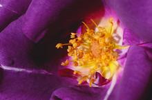 Detail Of A Rhapsody In Blue Rose Flower In Sunlight