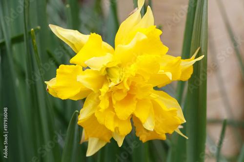 Fleur De Jonquille Buy This Stock Photo And Explore Similar Images