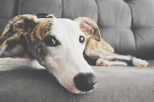 Whippet Dog Lay On A Sofa