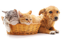 Kittens In A Basket And Puppy.