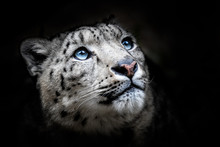Face Portrait Of Snow Leopard ...