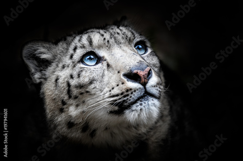 Face portrait of snow leopard - Irbis (Panthera uncia)