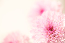 Beautiful Pink Flowers On A Soft Pastel Background With A Large Text Area.  Horizontal Presentation.