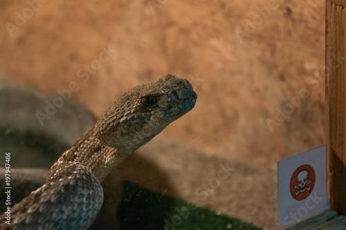 Fotografie, Obraz  Dangerous poisonous snake in the terrarium - western diamond rattlesnake