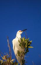 Snowy Egret Egretta Thula Bird...