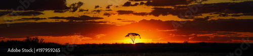 Fototapeta savannah sunset behind tree orange sky