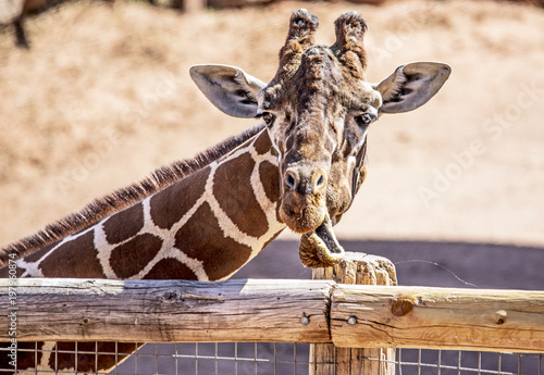 Funny close-up photos of giraffes at the Zoo Poster
