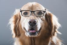 Golden Retriever Dog Wearing G...