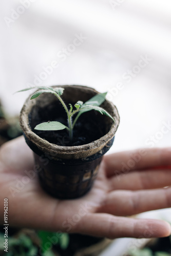 Woman Agronomist Holding A Peat Pot With Young Seedlings Of