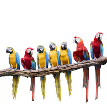 Flock Of Red And Blue Yellow M...