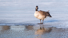 Geese Are Having Fun At Half-opened Lake In The Early Spring Of Minnesota