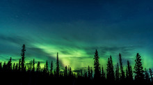 Deep Green Aurora Behind Silhouetted Pine Trees, Starry Blue Sky