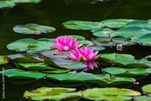 Poster de jardin Nénuphars Photo of red water lily with leaves on a lake in a park at summer