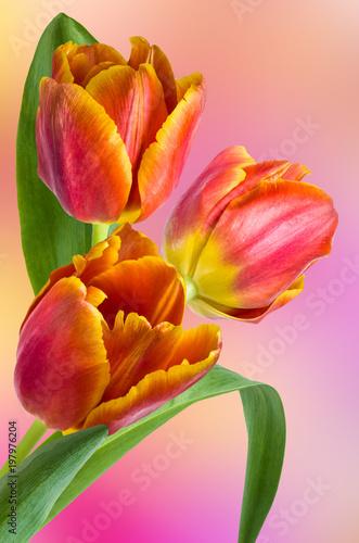 Fototapeta Bouquet of multicolored tulips