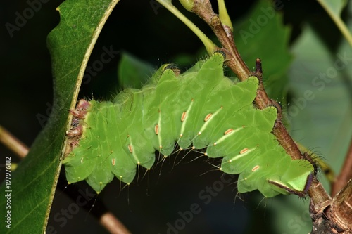 Photo  A large Polyphemus caterpillar (Antheraea polyphemus) in its late instar stage is  busy feeding upon oak leaves during the night hours