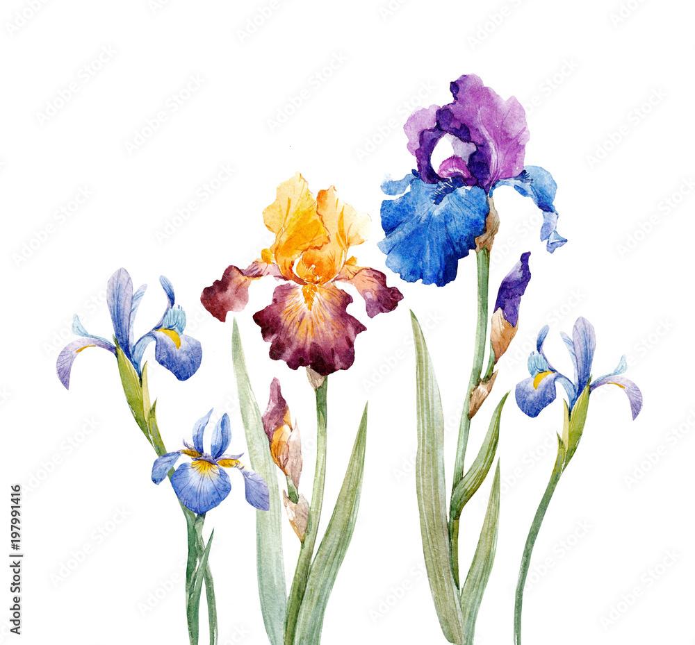 Fototapeta Watercolor iris composition