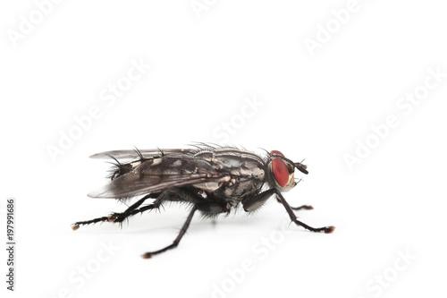 mouche domestique sur fond blanc
