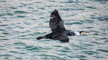 Cormorant Flying Low Over Water