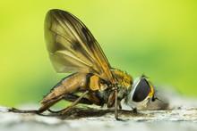 Focus Stacking - Phasia Hemiptera