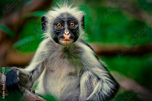 Silly and Surprized Colobus in Jozani forest, Zanzibar, Tanzania