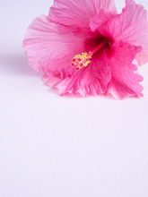 Pink Hibiscus Flower On A Pink...
