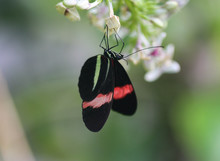 Red Postman Or Red Passion Flower Butterfly (Heliconius Erato) Collecting Nectar From Flower