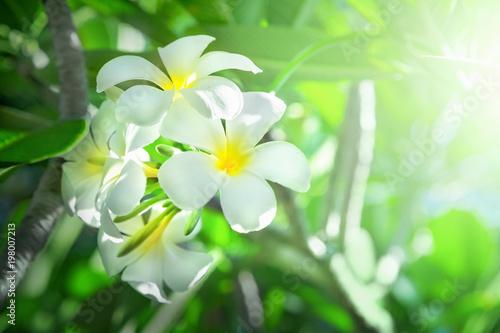 Spoed Foto op Canvas Frangipani Frangipani flowers