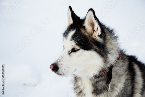 Profile Portrait Of Siberian Husky Dog Black And White Color With