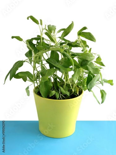 Poster Vegetal salvia herb with green leaves