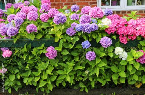 Pink Hortensia A Popular Decorative Perennial Plant Hydrangeas