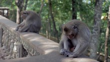 Two Monkeys Sleeping The Head Down Between The Knees While Sitting On A Stone Railing; The One On The Foreground Getting Awake And Scratching Itself Before Going Away