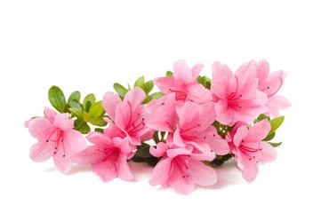 izolirani cvjetovi azaleje