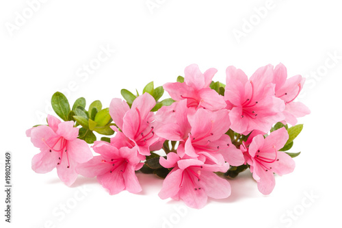 Montage in der Fensternische Azalee azaleas flowers isolated