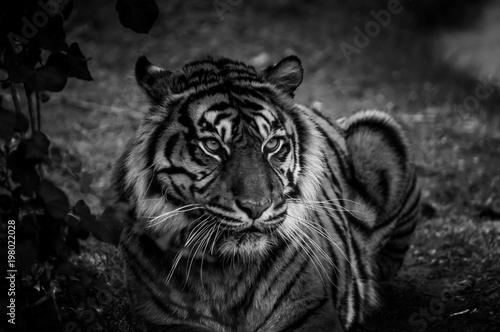 Photo sur Toile Tigre tigre