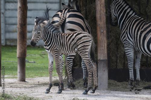Poster Zebra Grevy's zebra (Equus grevyi)