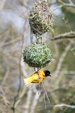 Male Black-headed Weaver Bird