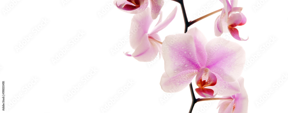 Close-up of beautiful pink Orchid flower .
