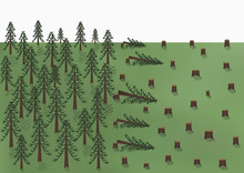 Cutting Down Of A Pine Forest ...