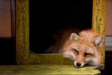 Fox Sleeping In The Box, Zao F...