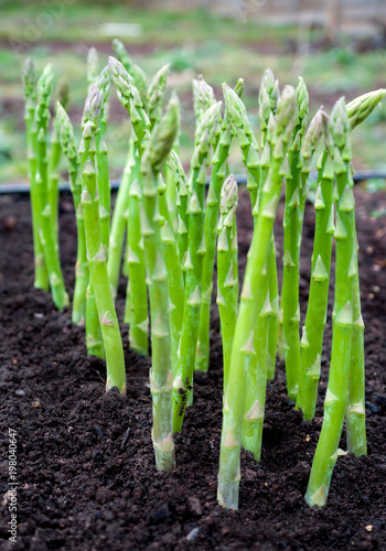 Photo Green young asparagus sprouts in the garden.