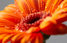Gerbera Flower With Drops Of W...