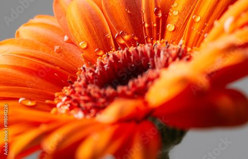 Gerbera flower with drops of water Tableau sur Toile