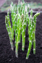 Green Young Asparagus Sprouts ...