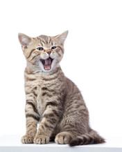 Yawning Small Cat Kitten Isola...