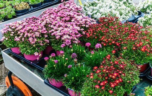 Photo Piante fiorite perenni