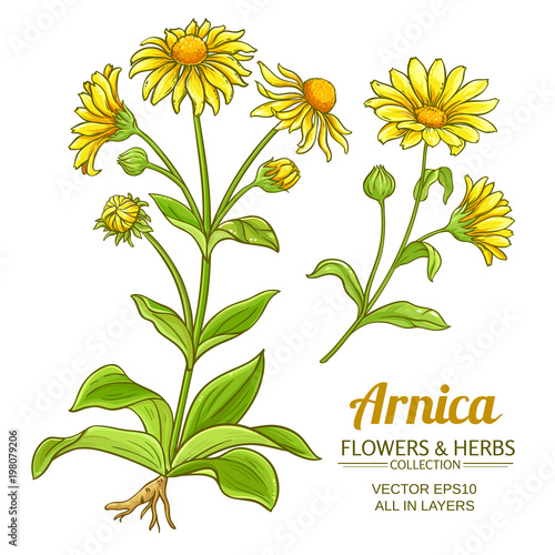 Photo arnica vector set