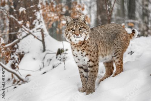 Fototapeta Portrait of Lynx rufus.