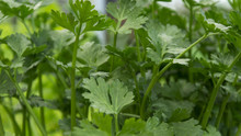 Parsley Green Herb