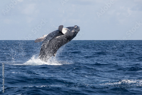 Humpback Whale Calf Breaches in the Caribbean Sea