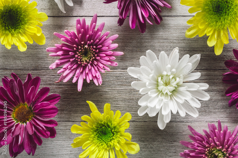Fototapety, obrazy: Chrysanthemum Flowers Arranged on White Table